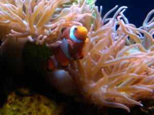 Clownfish with orange coral at the Audubon Aquarium in New Orleans