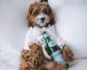 Dog with Pellegrino water in white robe relaxing for a trend article about pampered pets that reflect human lifestyle trends