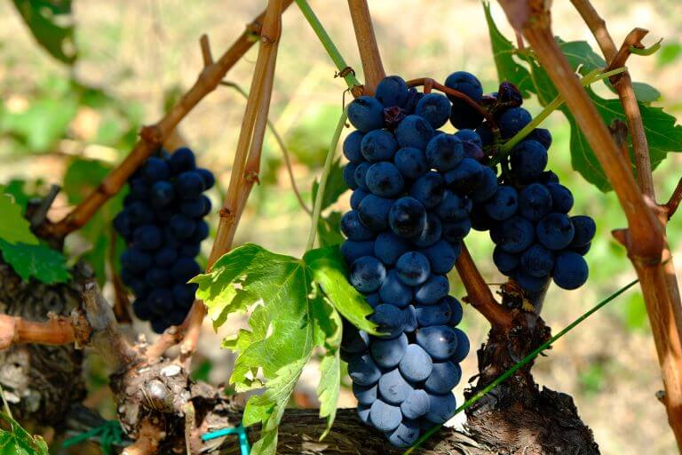 Purple grapes on a vine for an ingredient article about wine products and accessories