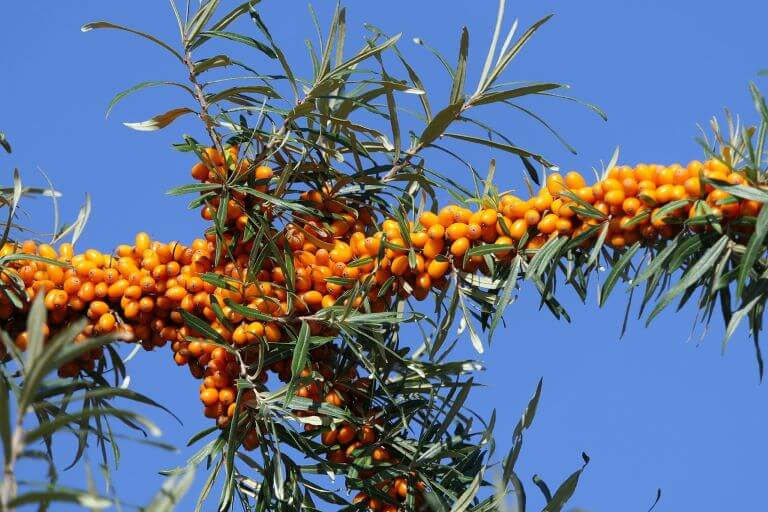 A blue background with Sea Buckthorn Berries aka Sea Berries for an ingredient article about beverages, skin and hair care products